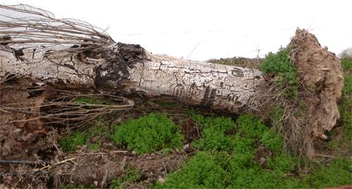 ciclogénesis tormenta temporal álamo blanco Populus alba