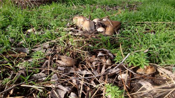 Coprinus domesticus hongos tintero
